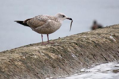 1st winter Herring Gull