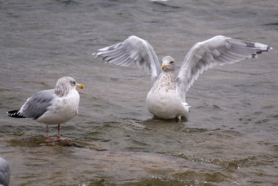 Thayer's Gull (right) with Herring Gull (left)