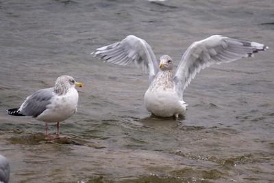 Thayer's Gull (right) with Herring Gull (left)