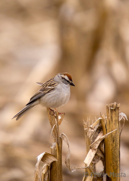 Chipping Sparrow on a corn stalk