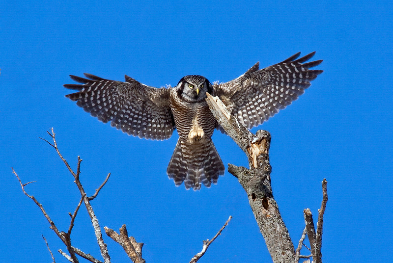 Northern Hawk Owl - with some post processing (to remove distracting branches).