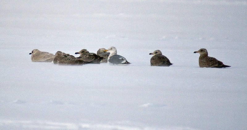 "Mixed group of gulls on Lake Simcoe from 2nd trip. Unidentified ""white-winged gull"" on the far left."