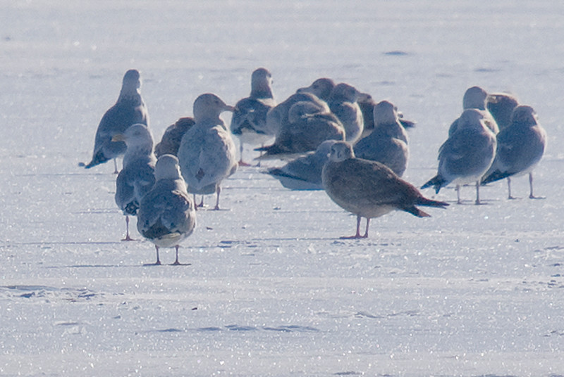 Glaucous Gull (3rd from top left, standing with head to the right). Note the white wings and relatively large size in comparison to the herring gulls). Added to life list 1/6/09. Picture taken on Lake Simcoe from Orillia shoreline.
