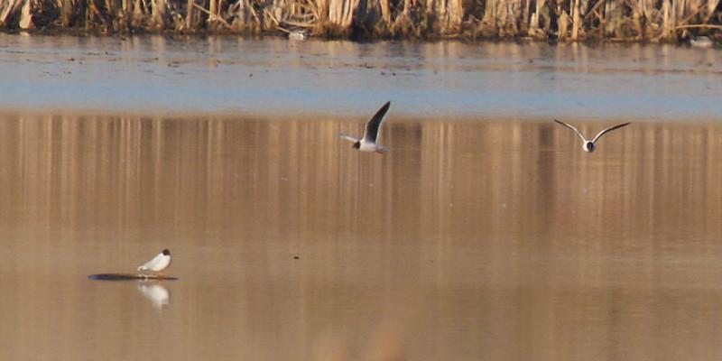 Little Gull (note black underside of wings)