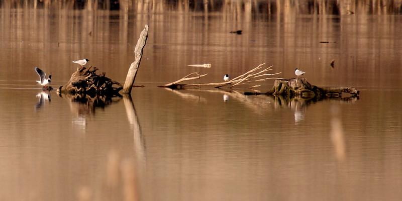 Little Gulls resting