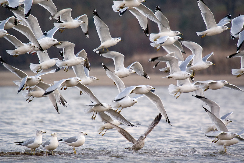 Gulls taking off (mostly ring-billed, but one Herring on the left - look for the big one!)