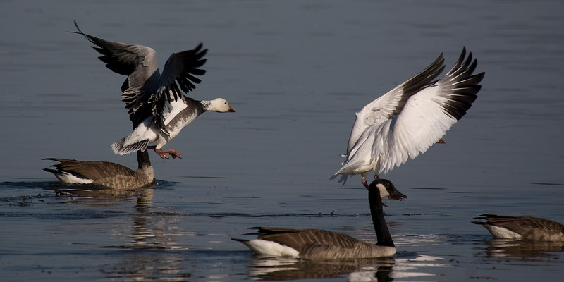 Snowgeese (White and Blue morph): October 6, 2011.