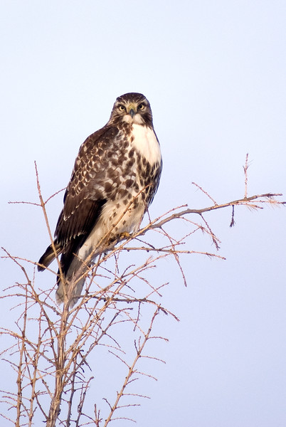 Immature Red-tailed Hawk (heavily marked)