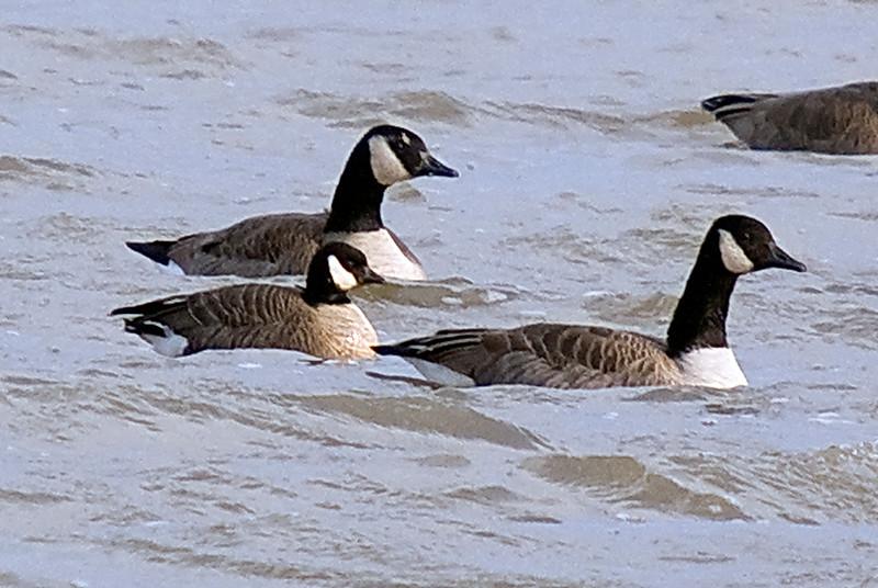 Cackling Goose (left/center)