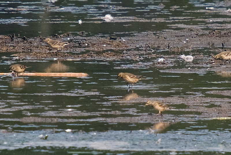 A flock of American Pipits foraging on the mud flats.