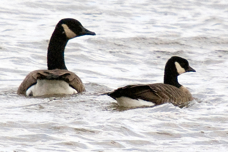 Cackling Goose beside Canada Goose more typically seen in southern Ontario