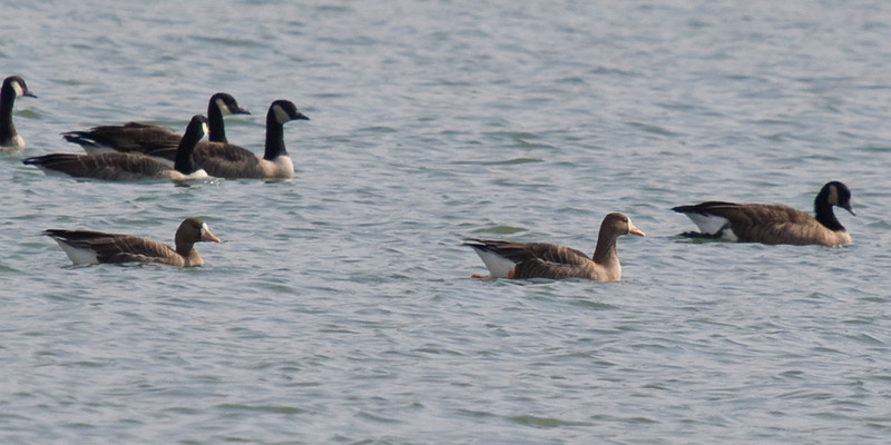 Pair of Greater White-fronted Geese - October 13, 2010