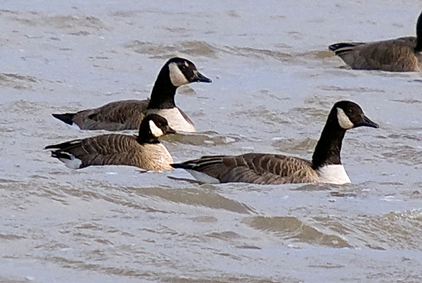 Cackling Goose (front, left) amongst smaller race of Canada Geese.