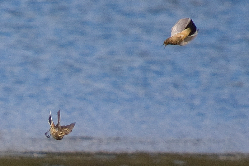 American Pipit chasing each other.