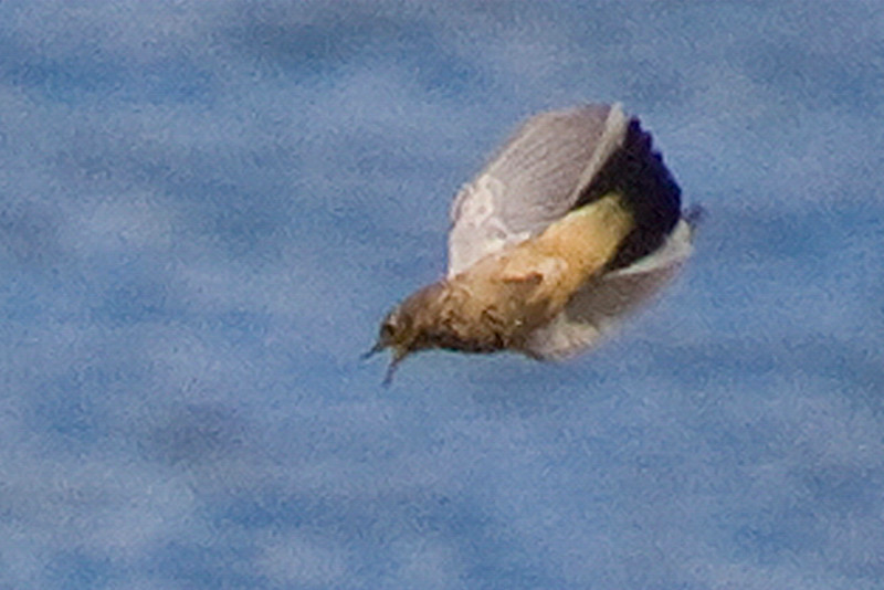 American Pipit (severe crop)