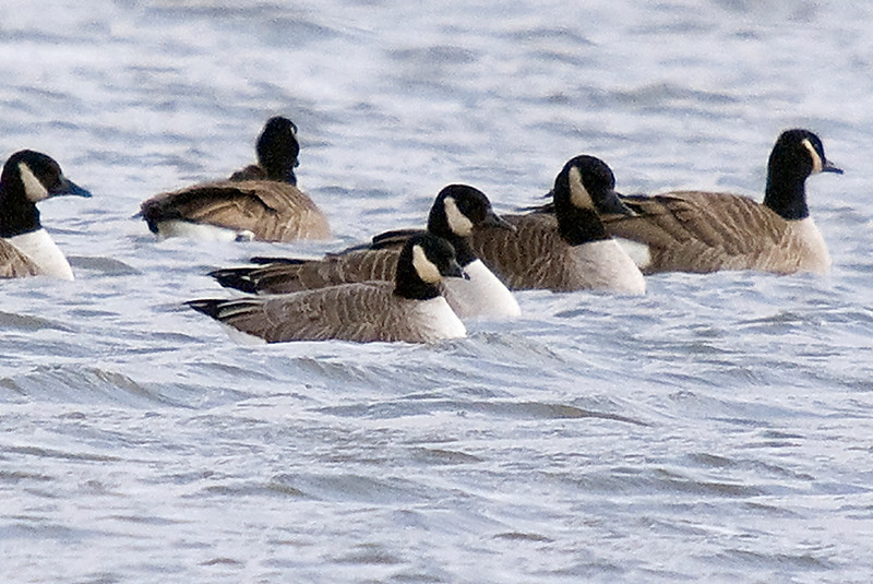 Cackling Goose (front, center) amongst smaller race of Canada Geese.