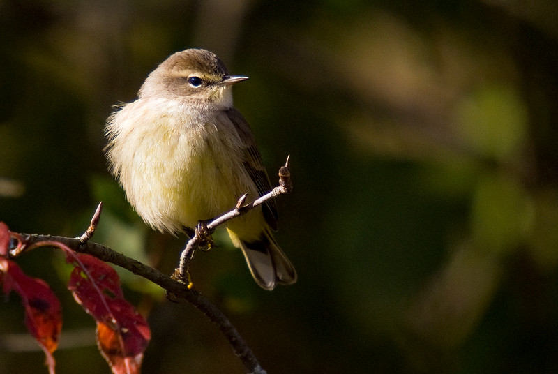 Palm Warbler (Fall Plumage)