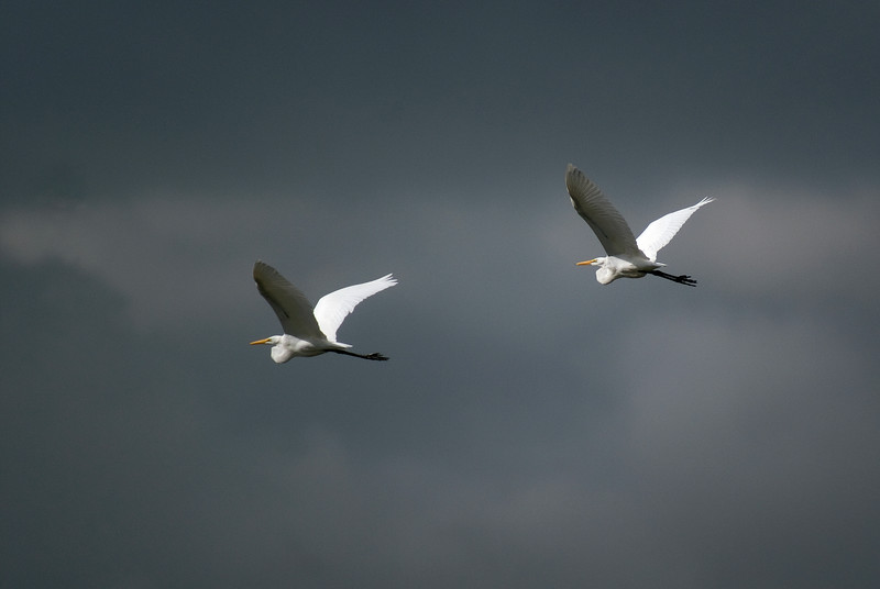 A pair of Great Egrets flying into storm clouds
