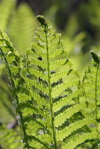 Ferns rising to meet the sun.