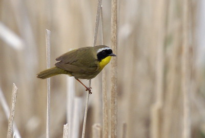 Common Yellowthroat in evening light along the marsh boardwalk. Clouds returned to cover up the sunset this day.