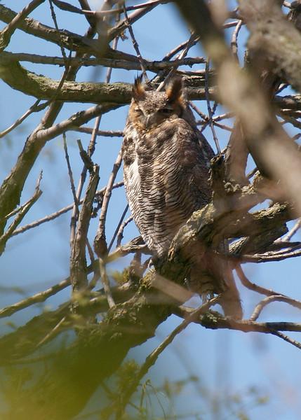Great Horned Owl (Female).