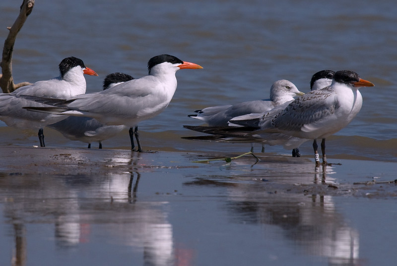 A group of caspian Terns with banded Juveniles on the right.