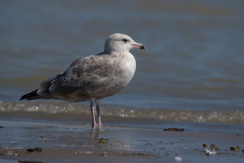 1st summer Herring Gull i believe