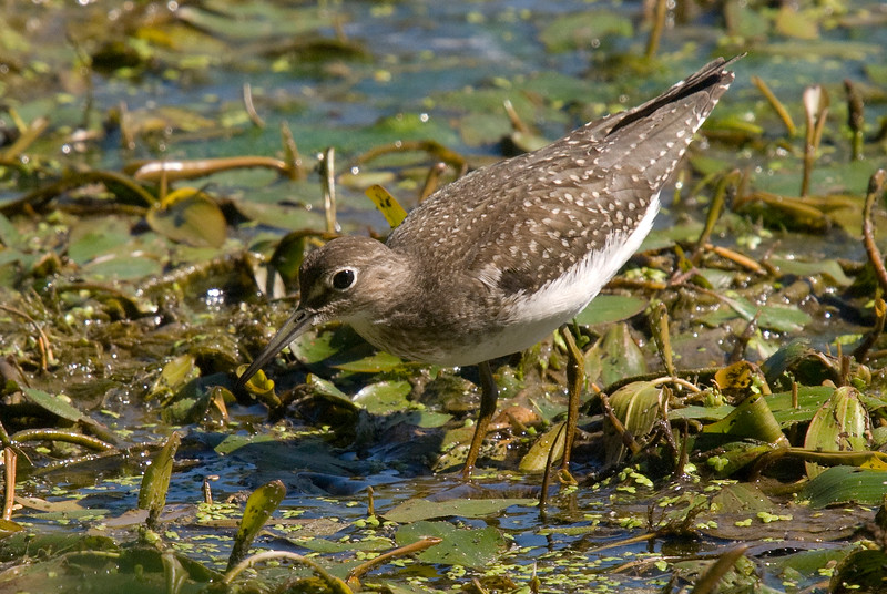 Solitary Sandpiper - Thamesville, ON. Taken on the way down to Port Burwell.