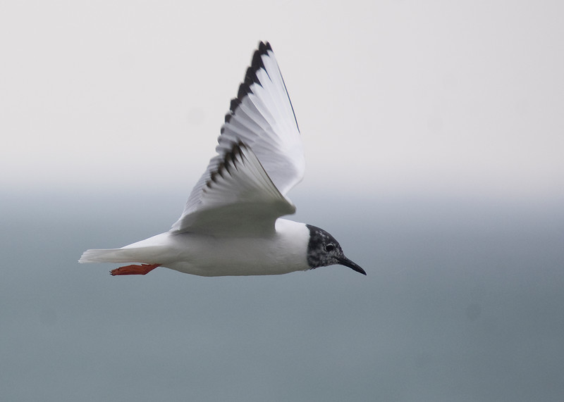 Bonaparte's Gull. April, 2011.