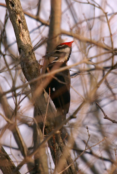Pileated Woodpcker