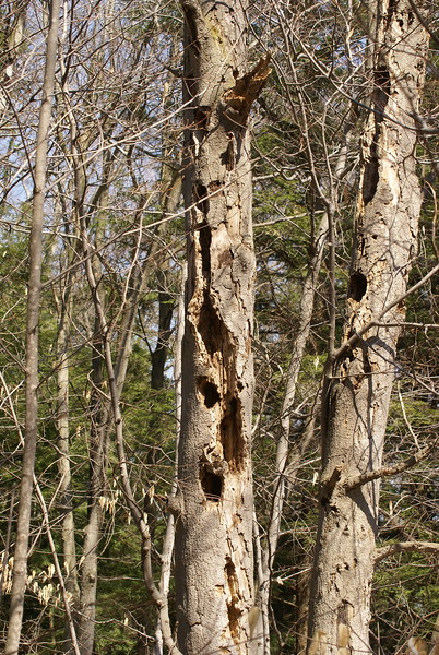 Evidence of Woodpeckers