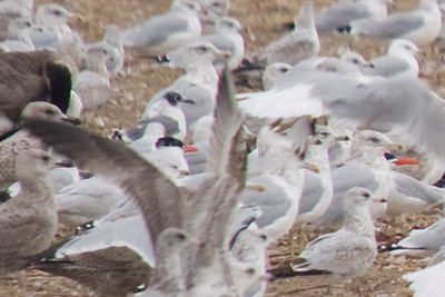 Franklin's Gull (roughly center of frame, left of the vertical outstretched wing)