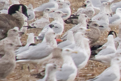 Franklin's Gull (Adult in 2nd basic or definitive basic plumage). The bird is roughly center of frame, note the partial charcoal hood. Photographed in Port Stanley Sewage Lagoons, Ontario.  September 7, 2010. (Center of Frame)