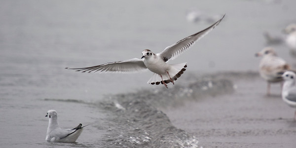 Juvenile Little Gull - October 3, 2011