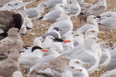 """Franklin's Gull - look for the """"charcoal"""" hooded gull above the black head of the caspian tern (roughly center frame). Adult bird in 2nd basic or definitive basic plumage."""