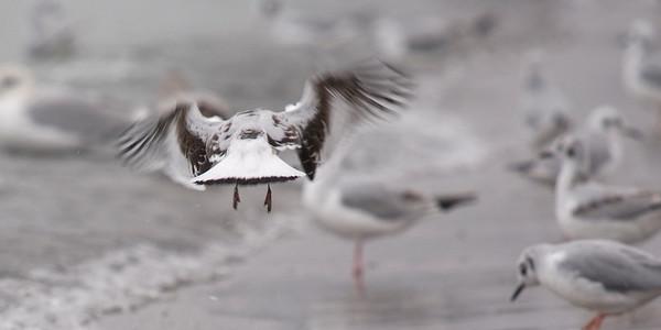 Juvenile Little Gull - October 3, 2011