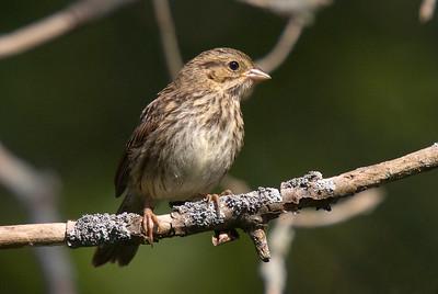 Juvenile Song Sparrow