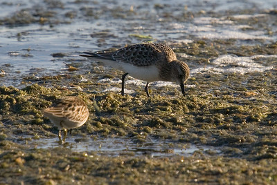 Baird's Sandpiper on top, least sandpiper below to the left.