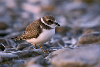 Semipalmated Plover just before the sun crested the horizon.