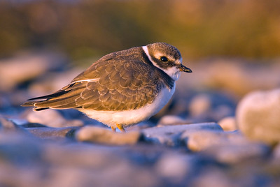 The first rays of morning sunshine fall on this beautiful Semi-palmated Plover.