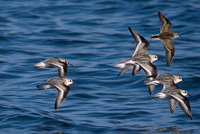 Sanderlings in flight....with a Baird's sandpiper in the top right.