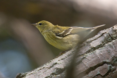 Blackpoll Warbler (Fall Plumage)