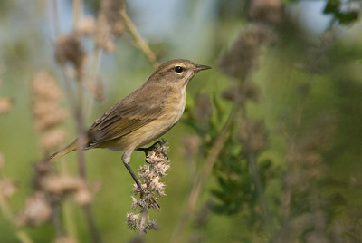 Western Palm Warbler (fall plumage)