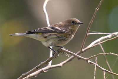 Yellow-rumped Warbler (Fall Plumage)