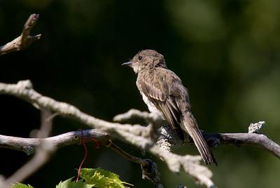 Juvenile Eastern Wood Peewee