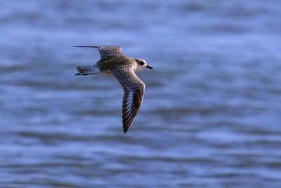 Black-bellied Plover in flight.