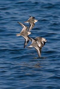 Sanderlings in flight