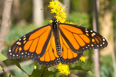 One of the many Monarch Butterflies migrating through the park