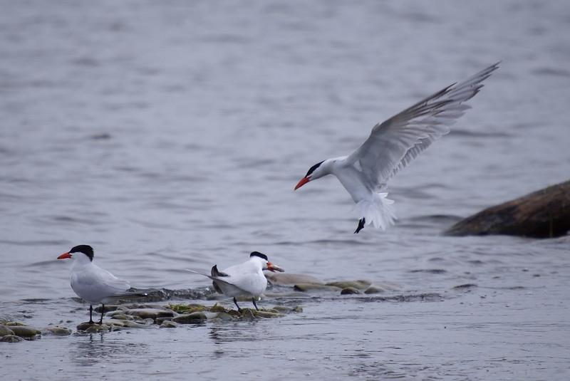 Caspian Tern coming in for landing<br /> <br /> Taken on Rice Lake, near Bewdley Ontario.