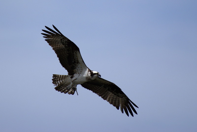 Osprey (aka Fish Hawk)<br /> <br /> Taken on Rice Lake, near Bewdley Ontario.